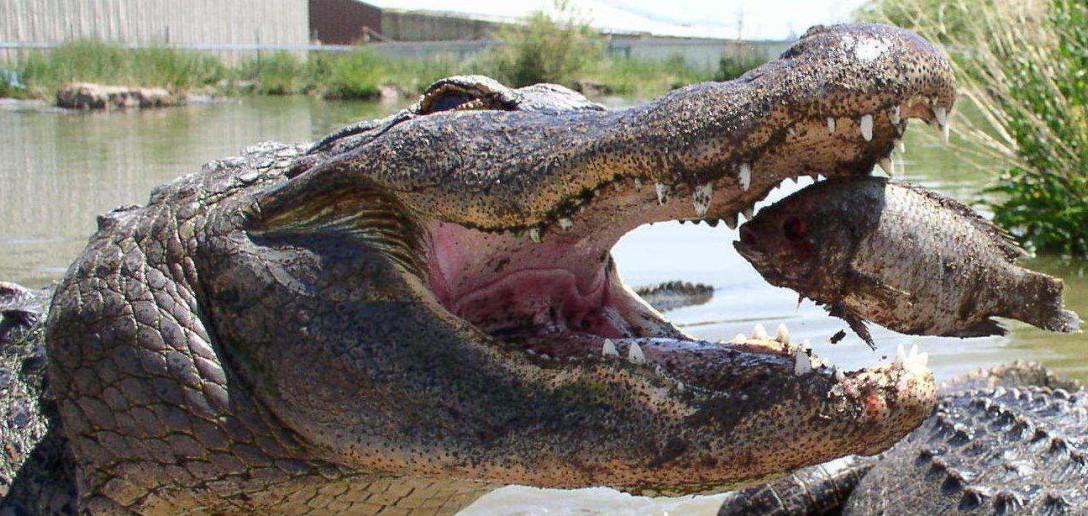 Un alligator à portée de main?