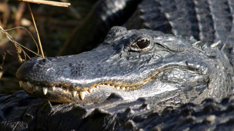 Visite de St.Augustine avec sa ferme aux Alligators avec guide francophone (dès 12 ans)